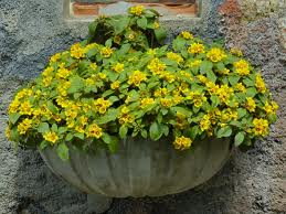 Plantas rasteiras para canteiro 3