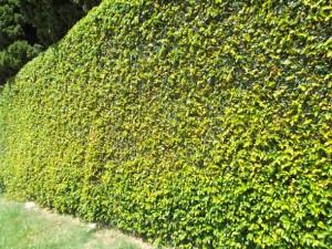 Hera usada em muros atrai insetos 001