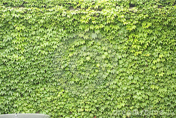 A hera japonesa (Parthenocissus)