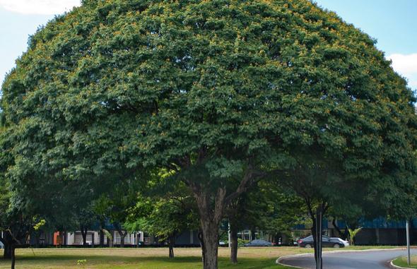2-Árvores certas para plantar na calçada