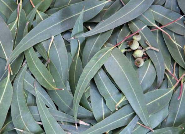 Ervas para limpar a casa 004 eucalípto
