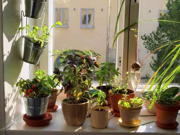 Mini horta em casa 002